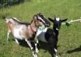 Nasze kozy - Kasia i Basia